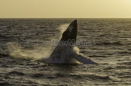 buckelwal springt