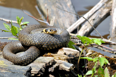 animal reptile snake animal world nontoxic