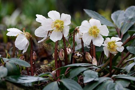 helleborehelleborus nigerhelleboreschneerose