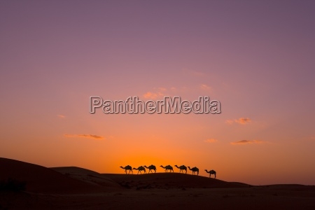 camel caravan at sunset in the