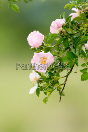 beautiful blooming wild rose bush