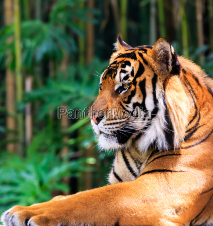 regal tiger