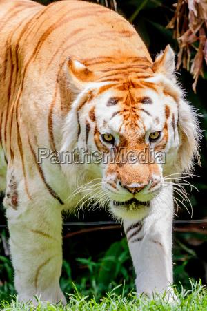 aging, tiger - 15669826
