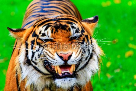 grinning, tiger - 15669870