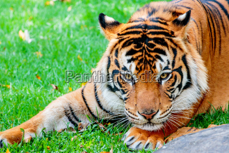 pre-pounce, tiger - 15669822