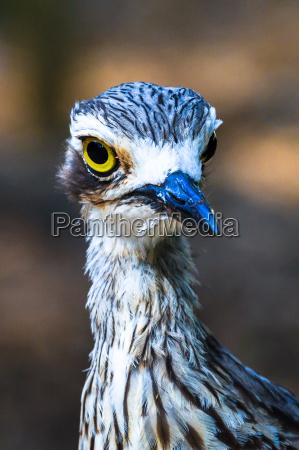 curlew, portrait - 15761648