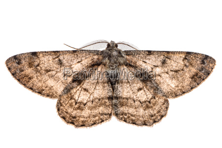 moth with outspread wings isolated on