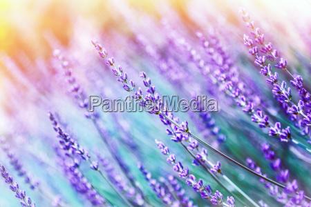 lavender flower background