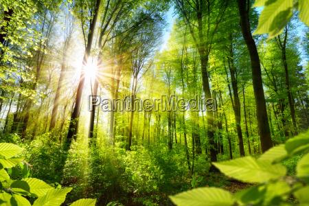 sunlit deciduous trees in forest
