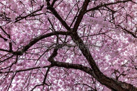 cherry, blossom - 17081534