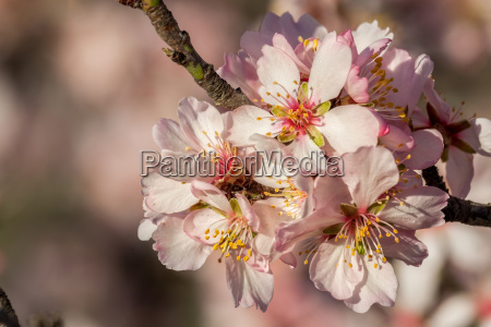 close up of beautiful almond flowers