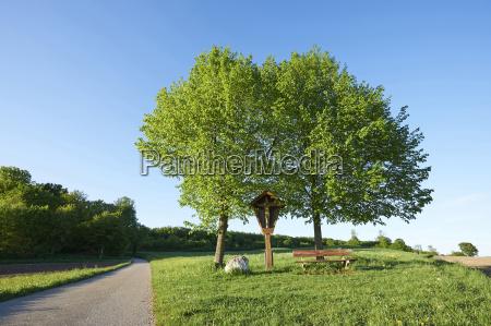 landscape with silver birch betula pendula