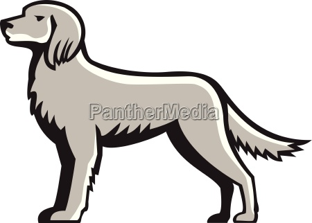 english setter standing side view retro