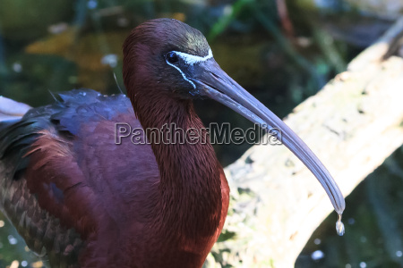 glossy, ibis - 18142032