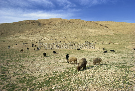sheep grazing in agricultural landscape near