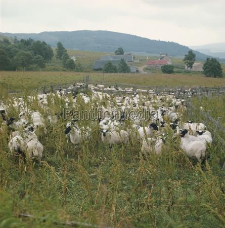 sheep farm highland region scotland united