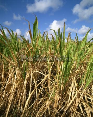 sugar cane barbados west indies caribbean