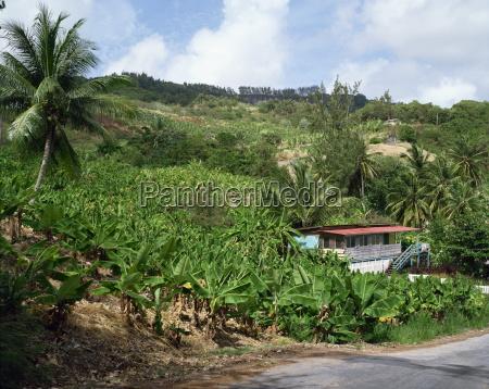 bananas barbados west indies caribbean central