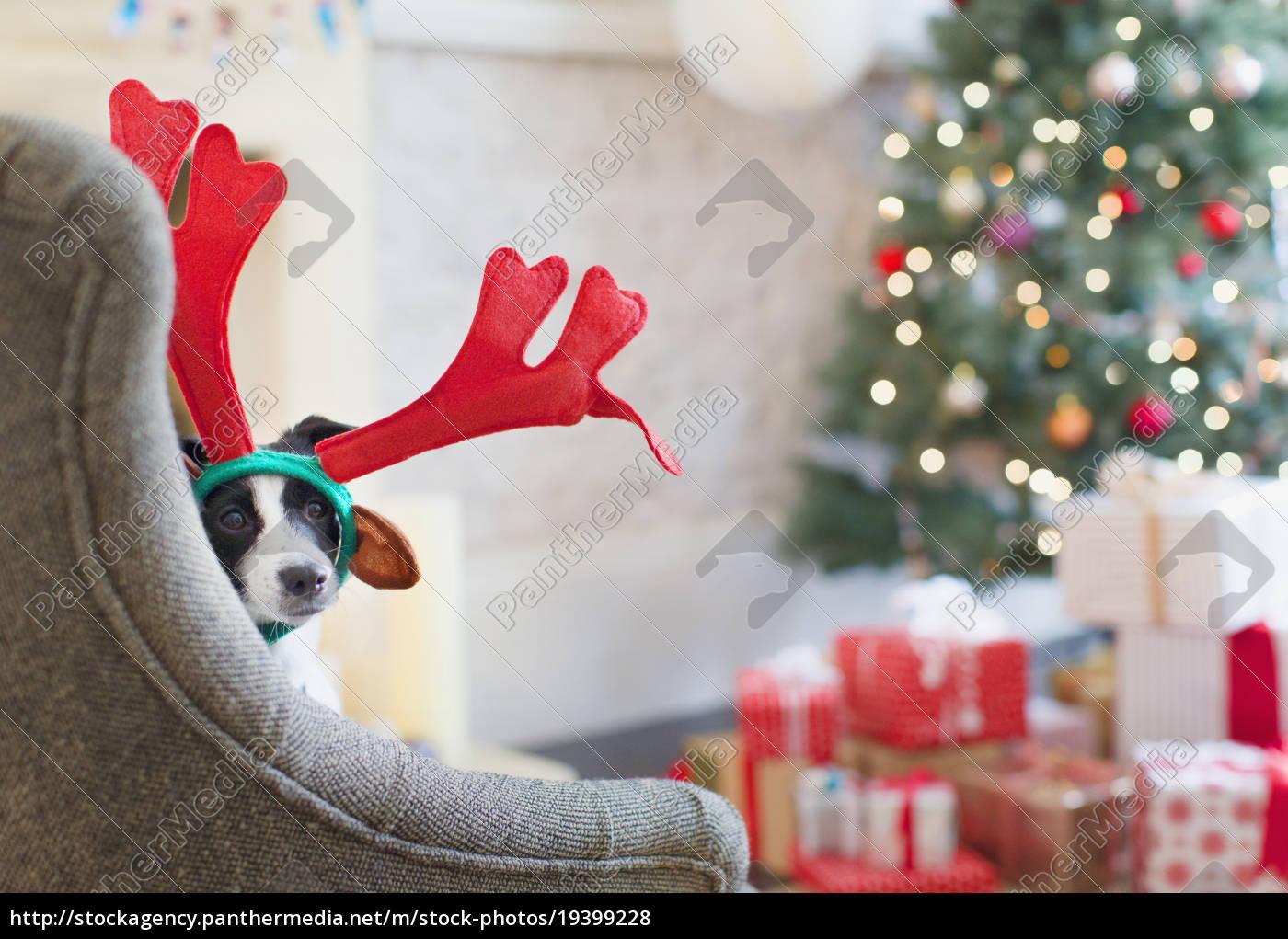 portrait, dog, wearing, reindeer, antlers, near - 19399228
