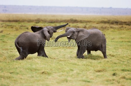 african elephants sparring amboseli national park