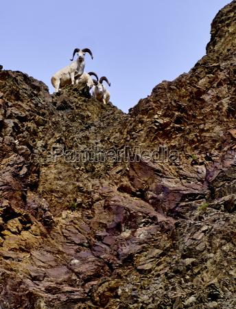 dall sheep at denali national park