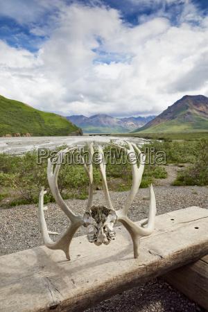 caribou antlers at denali national park