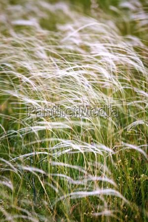 beautiful stipa field in the wind