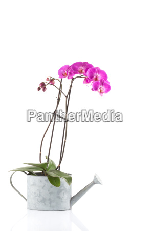 orchid pink flower in