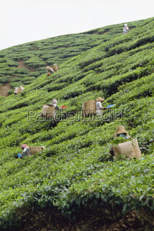 tea picking cameron highlands malaysia southeast