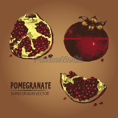 digital vector detailed color pomegranate hand