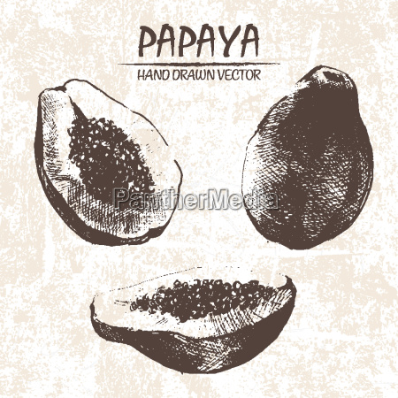 digital vector detailed papaya hand drawn