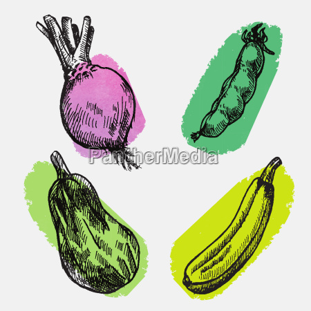 digital vector detailed color cabbage