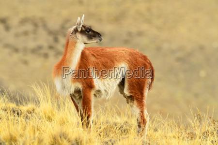 guanaco lama guanicoide patagonia chile south
