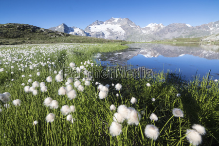 cotton grass frames snowy peaks reflected