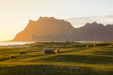 sheep grazing in the green meadows