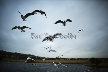flock of seagulls flying near lake