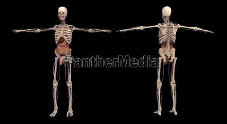 3d rendering of human skeleton with