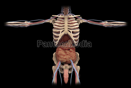 3d rendering of digestive system and