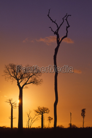 tree silhouettes in deforested area western