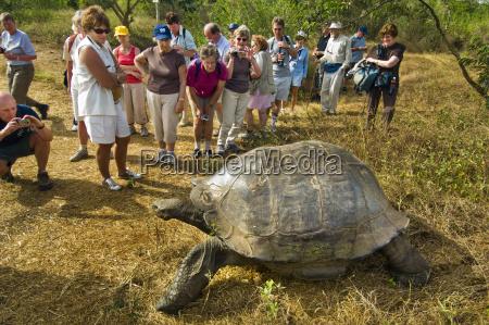 tourists watching giant tortoise chelonoidis nigra