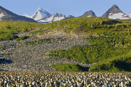 king penguin colony aptenodytes patagonicus south