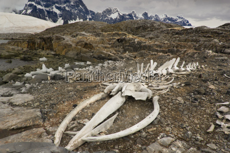 blue whale skeleton aenoptera musculus port