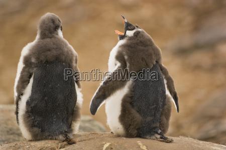molting gentoo penguin chicks pygoscelis papua