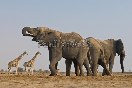 elephant loxodonta africana and giraffes etosha