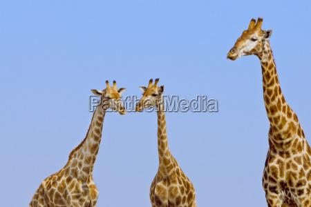 giraffes giraffa camelopardalis etosha national park