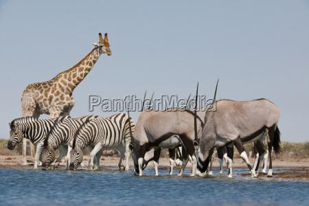 giraffe giraffa camelopardalis zebras equus quagga