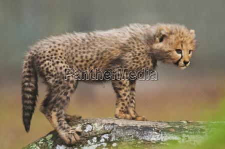 cheetah cub acinonyx jubatus white oak