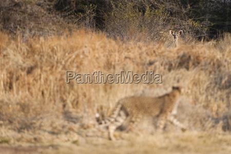 cheetah watching kudu acinonyx jubatus cheetah