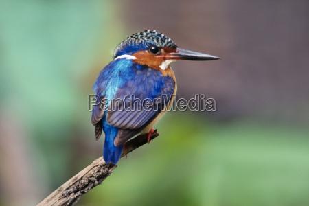 malachite kingfisher alcedo cristata madagascar