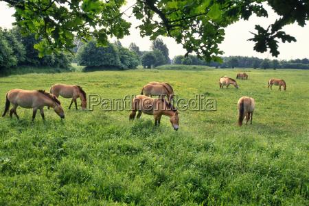 takhi grazing equus caballus przewalskii natuurpark